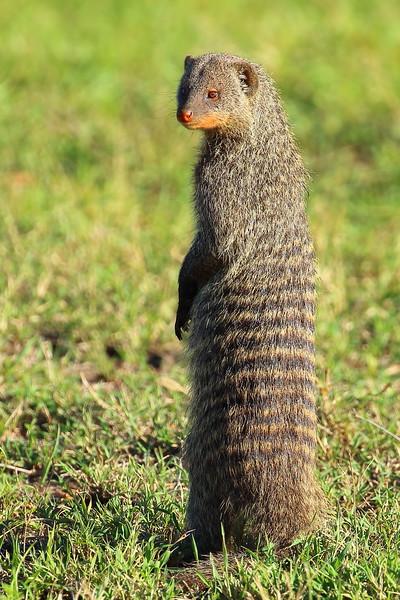 Banded Mongoose.JPG
