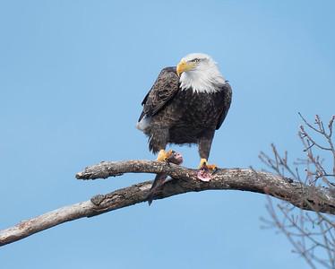 Beaver Park Marina Eagles