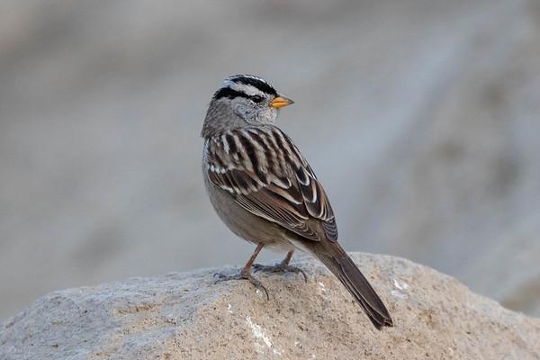 White-crowmed Sparrow