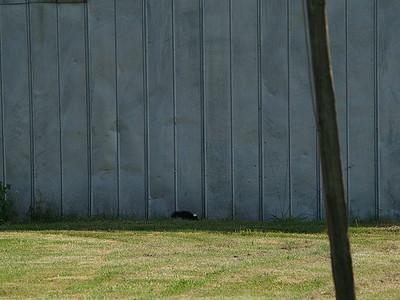 Orphaned skunk?