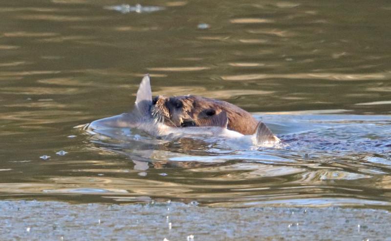 Otter 74