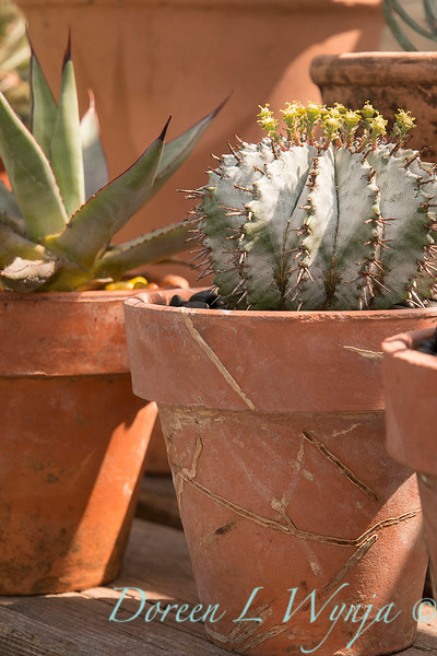 Hatiora salicornioides - terra cotta pot_1997.jpg