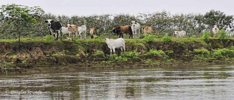 Cano Negro: Cows