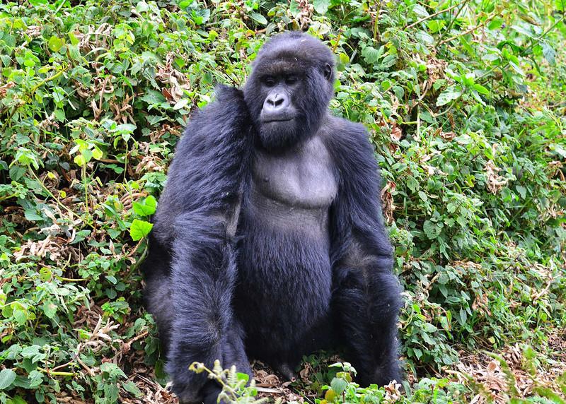ARW_2017-7x5-Gorilla.jpg
