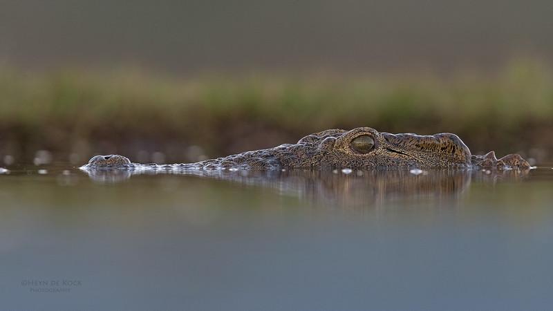 Nile Crocodile, Zimanga, South Africa, May 2017-3.jpg