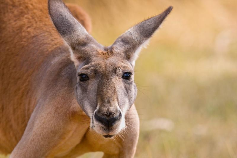 Kangaroo, Adelaide, Australia