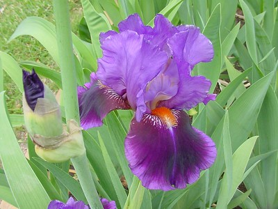 Holt Bearded Iris Seedlings 2005