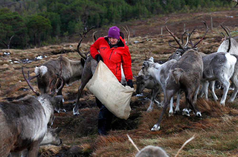 Description of . Reindeer herder Anna Jemmett from the Glenmore Reindeer Centre, empties a 12 kg sack of grain onto the ground while feeding a herd of free ranging reindeer in the Cairngorm Mountains near Aviemore, Scotland December 28, 2012. The 150 strong Cairngorm Reindeer Herd is Britain's only herd of reindeer. REUTERS/David Moir