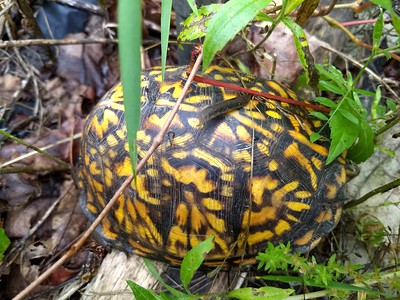 Box Turtles in Our Yard