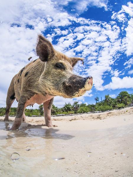 Swimming Pigs- Staniel Caye-246.jpg