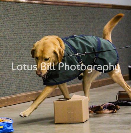 Yellow Labrador Maxx OH