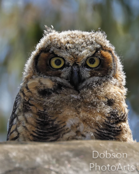 Great Horned Owlets - 2017