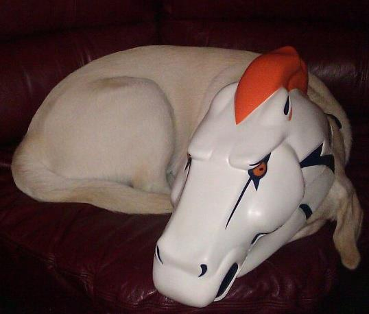 . Our yellow lab Captain showing his Broncos spirit! Photo by Brian Beauchamp