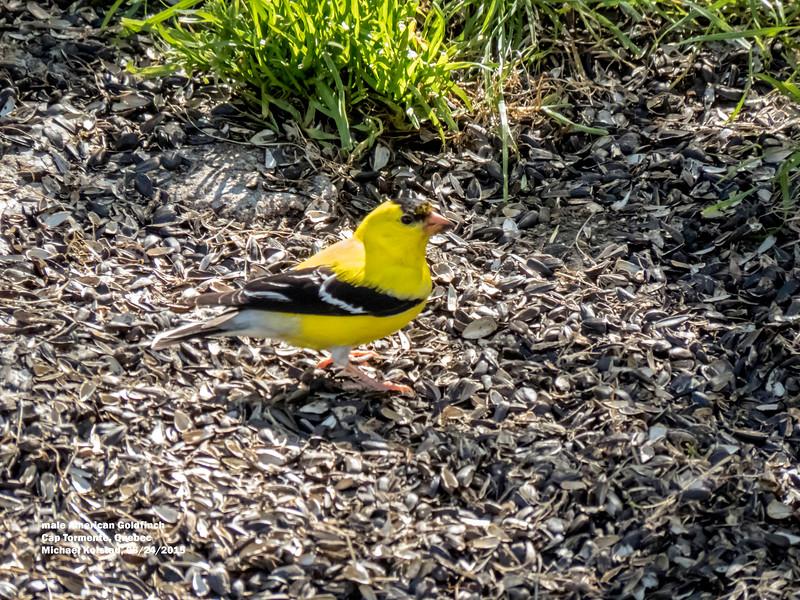 a624 1538 IMG_1134 3T male American Goldfinch Cap Tormente Quebec.jpg
