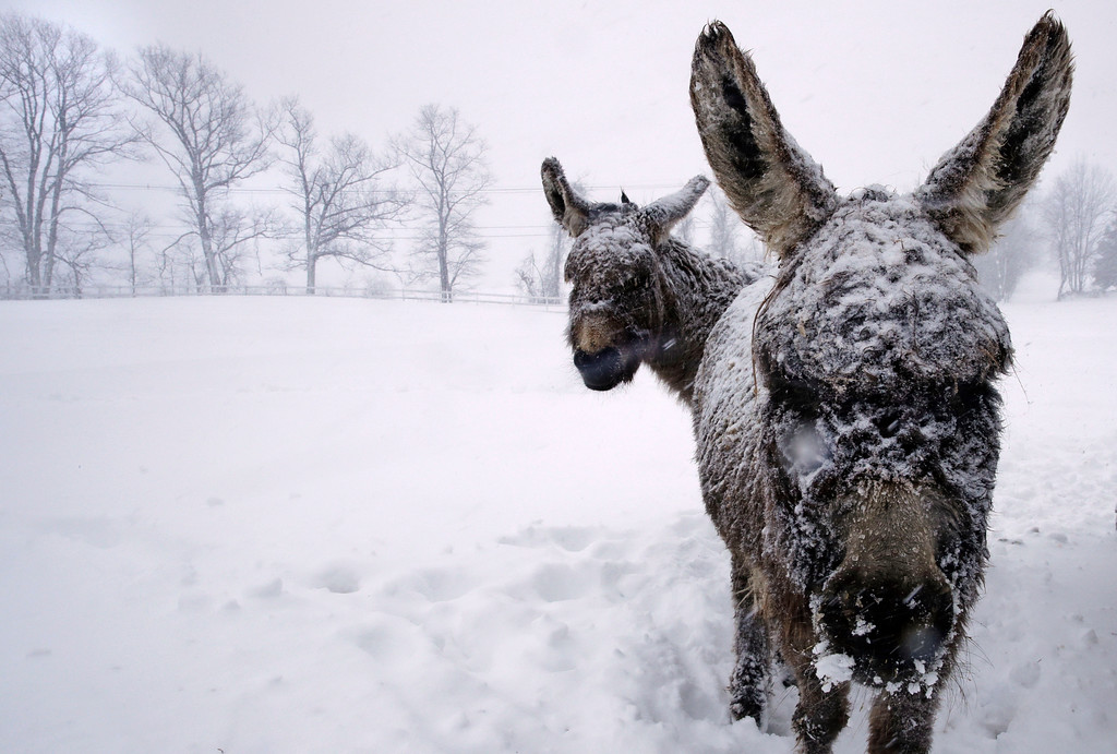 . Snow covered donkeys stand outside during a winter storm in Chester, N.H., Tuesday, March 13, 2018. The nor\'easter is expected to deliver up to 2 feet of snow to some areas of New England, bringing blizzard conditions to parts of coastal Massachusetts and covering highways with snow. (AP Photo/Charles Krupa)