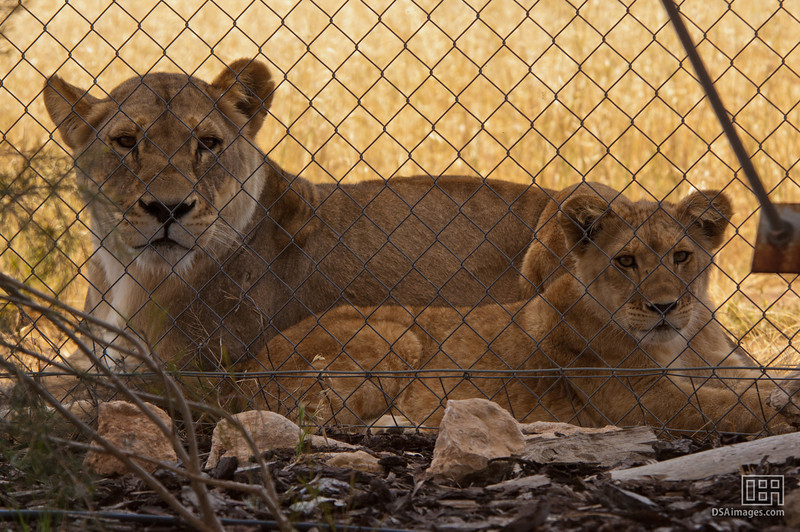 Seven month old lioness cub and lioness