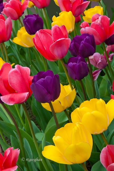 April 15_Tulip Garden_0905.jpg