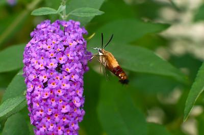 Backyard Butterfly's - Aug_04_14