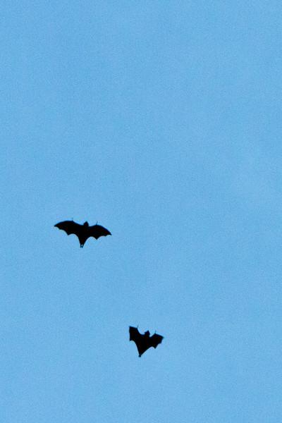 Sydney - Bats!