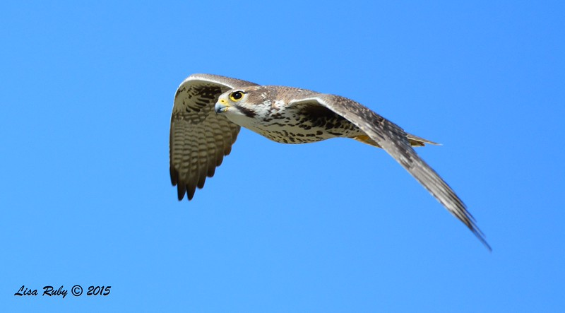 Prairie Falcon - 1/19/2015 - Rangeland Road, Ramona