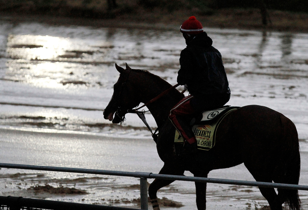 . Preakness Stakes favorite California Chrome heads back to the barn after a morning workout in the rain under exercise rider Willie Delgado at Pimlico Race Course, Friday, May 16, 2014, in Baltimore. The 139th Preakness horse race takes place Saturday. (AP Photo/Garry Jones)