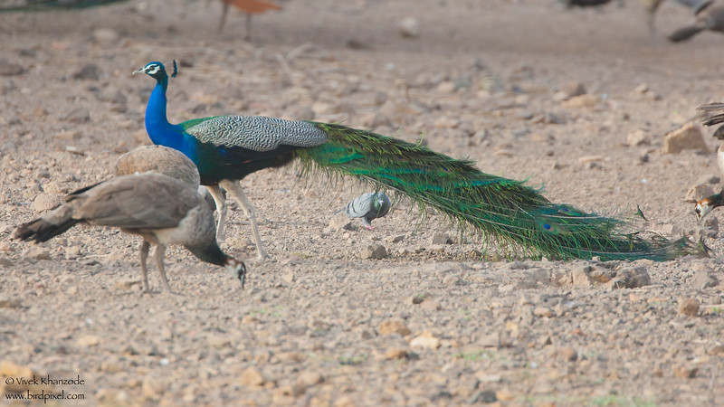 Indian Peafowl - Kutch, Gujrat, India