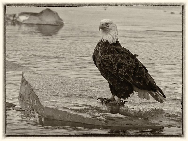 DA061,DB, Eagle on Ice.jpg