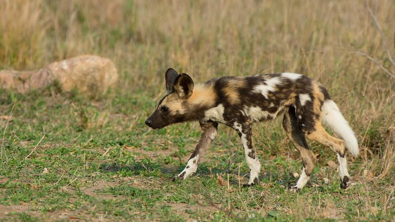Wild Dog, Kruger NP, SA, Sept 2015-3.jpg
