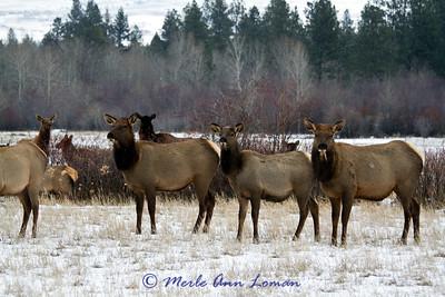 Elk in December