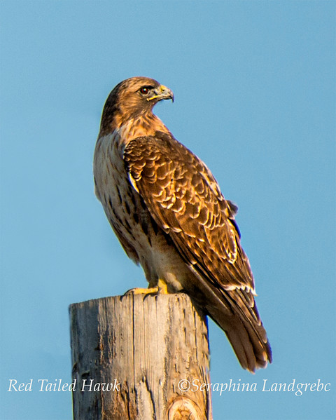 _DSC9116Red Tail Hawk.jpg