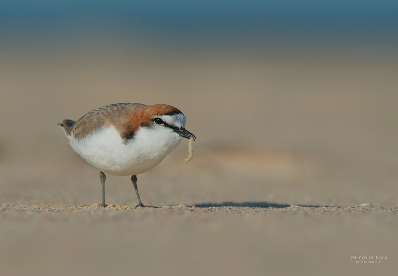 Red-capped Plover, Lake Conjola, NSW, Aus, Sept 2013-3.jpg