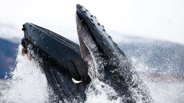 The big herring feast