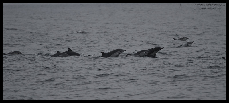 Common Dolphin pod, Whale Watching trip on 'America' sail boat, San Diego County, California, September 2011