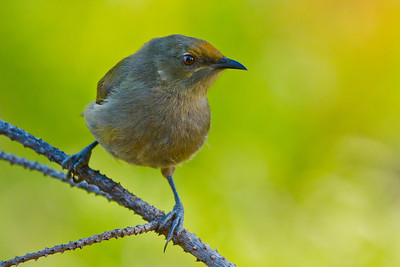 Bellbirds (Korimako)