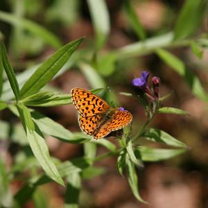 Papillons diurnes
