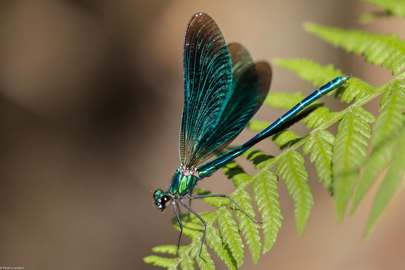 Beautiful Demoiselle Wing Flick