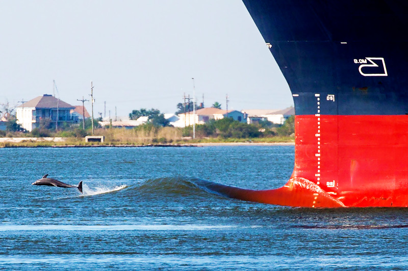 Dolphin playing in a merchant vessel's bow wake, Texas City Dike