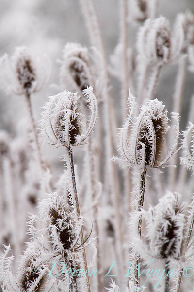 Winter frosted thistles_9451.jpg