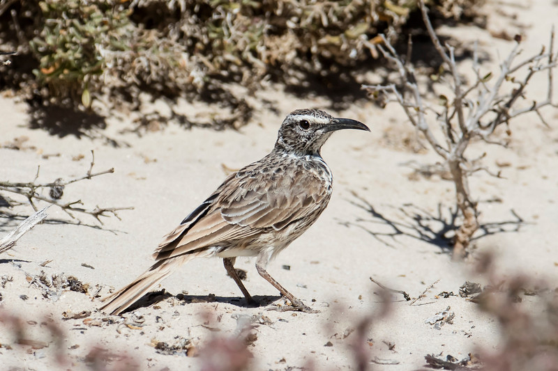 Cape Long-billed Lark