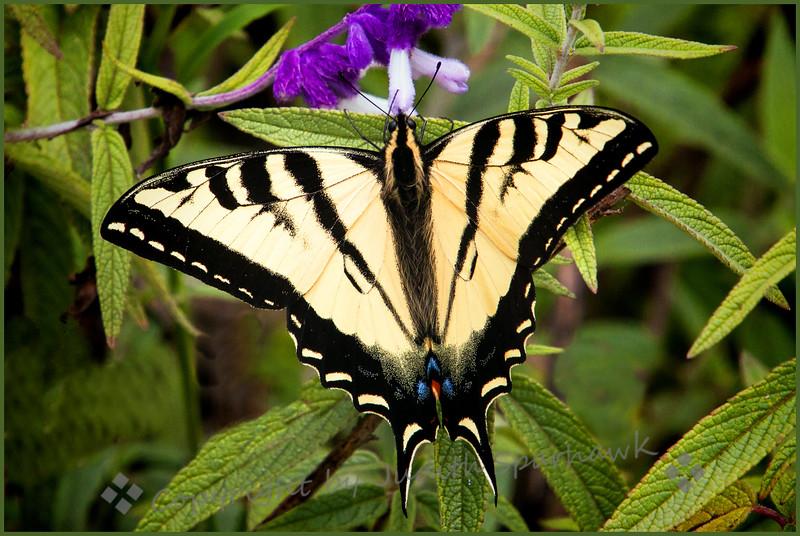 Western Swallowtail - Judith Sparhawk
