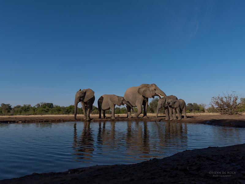 African Elephant, Mashatu GR, Botswana, May 2017-45.jpg