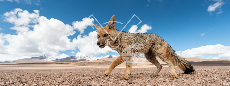Close encounter with the culpeo (Lycalopex culpaeus) or Andean fox, in his typical territory of the Altiplano landscape at the Siloli desert in Eduardo Avaroa Andean Fauna National Reserve