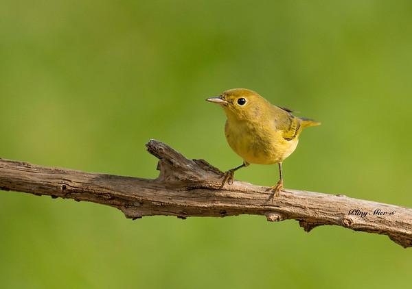 Yellow Warbler 10_DWL5117.jpg
