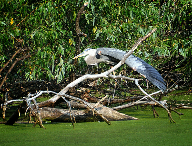 HERON WIDE WING.jpg
