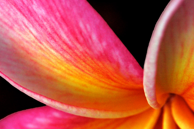Close-up of the petals on a pink and orange plumeria