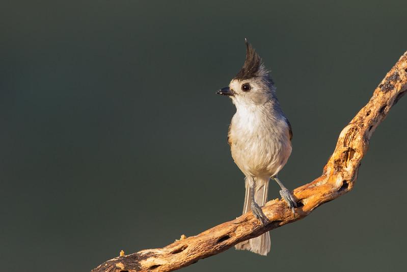 Black-crested Titmouse - Laguna Seca Ranch, Edinburg, TX, USA