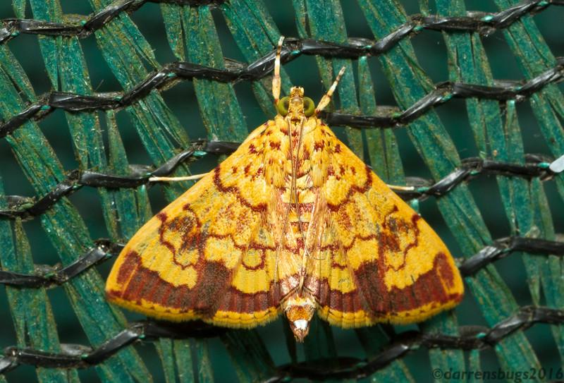 Grass moth, Crambidae, from Monteverde, Costa Rica.