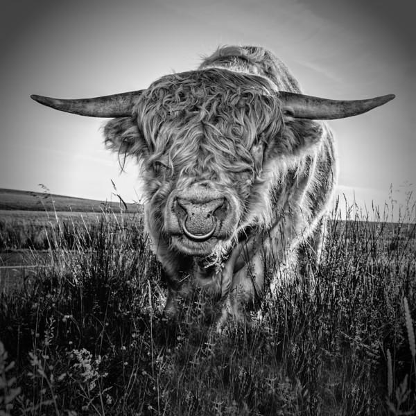 Highland bull.jpg