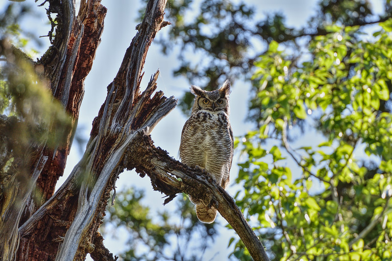 Great Horned Owl in late spring