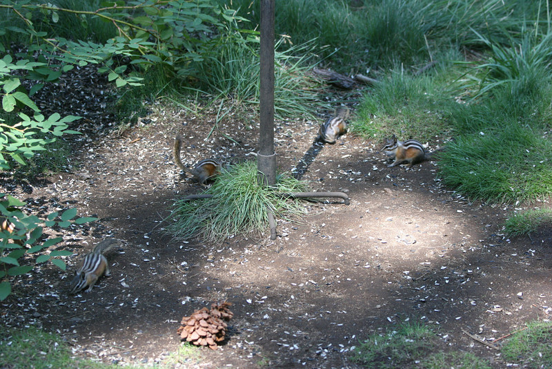 chipmunks love the leftovers from the bird feeder